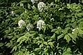 Actaea rubra C Lännenkonnanmarja IMG 3355.JPG