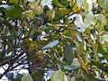 Actinodaphne ¿ angustifolia ? (8291360918).jpg