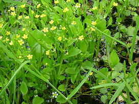 Adders tongue spearwort.jpg