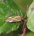Adelphocoris lineolatus 91849320.jpg