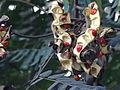 Adenanthera pavonina112.JPG