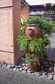 Adiantum sp., Mt Coot-tha Botanic Gardens, Toowong 100 9727.jpg