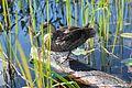 Adirondacks - duck - 03.jpg