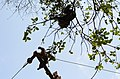 Adult lion-tailed macaque looking at the electrocuted infant in Valparai DSC 2518.jpg