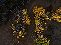 Aerial view of yellow trees (Unsplash).jpg