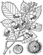Aesculus hippocastanum drawing.png
