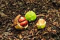 Afgevallen vruchten van kastanje (Aesculus) 02.jpg