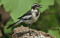 African Pied Wagtail, Motacilla aguimp in Kruger National Park (13850606964).jpg