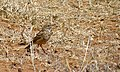 African Pipit (Anthus cinnamomeus) (6581198037).jpg