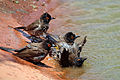 African red-eyed bulbuls (Pycnonotus nigricans) 2.jpg