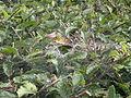 Agelenidae sp. web (5033344279).jpg
