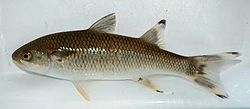 Agonostomus monticola photo.jpg