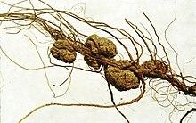 une racine présente plusieurs tumeurs brunes, des galles provoquées par la présence de la bactérie parasite