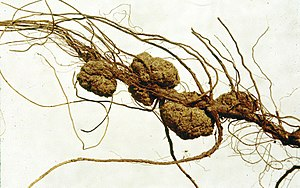 Bacterial conjugation - Agrobacterium tumefaciens gall at the root of Carya illinoensis.