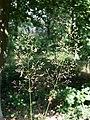 Agrostis capillaris sl4.jpg