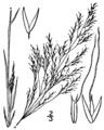 Agrostis elliottiana BB-1913.png