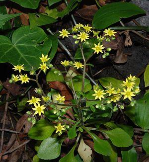 Aichryson - Aichryson punctatum