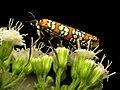 Ailanthus Webworm Moth (31788796096).jpg