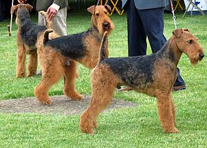 Airedale Terrier - Airedale Terriers being judged at a dog show.