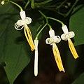 Alangium platanifolium var. trilobatum (flower).jpg