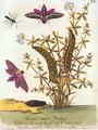 Albin Eleazar Moth 1720.png