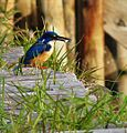 Alcedo semitorquata -Knysna, Western Cape Province, South Africa-8.jpg