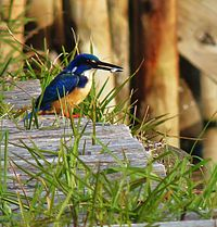 Alcedo semitorquata -Knysna, Western Cape Province, South Africa-8