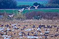 Aleutian and snow geese at San Joaquin National Wildlife Refuge (38752369821).jpg