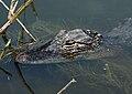 Alligator mississippiensis juvenile.jpg