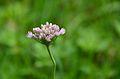 Allium angulosum (7661195970).jpg