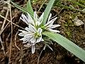 Allium chamaemoly Corse 2014.jpg