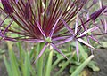 Allium cristophii kz03.jpg
