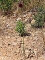Allium sphaerocephalon Habito 2010-6-24 DehesaBoyaldePuertollano.jpg