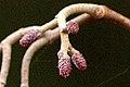 Alnus.glutinosab.-.lindsey.jpg