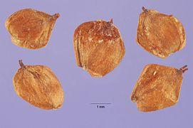 Alnus incana rugosa seeds.jpg