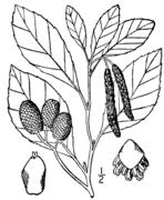 Alnus maritima drawing 1.png