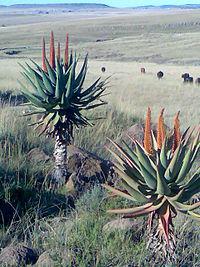 Aloe Ferox between Cofimvaba and Ngcobo.jpg