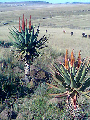 Eastern Cape - Aloe ferox on the R61 route between Cofimvaba and Ngcobo.