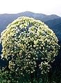 Alpes, flora (1983) 27.jpg