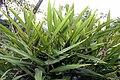Alpinia nutans 3zz.jpg