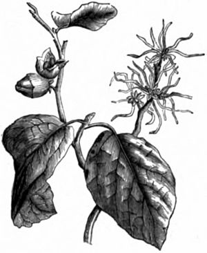 AmCyc Witch Hazel.jpg