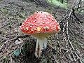 Amanita Muscaria - panoramio (1).jpg