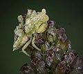 Ambush Bug Phymata sp..jpg