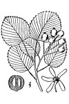 Amelanchier sanguinea -roundleaf serciveberry