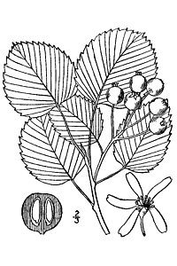 Amelanchier sanguinea -roundleaf serciveberry