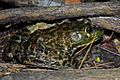 American Bullfrog (Lithobates catesbeianus) (8573971487).jpg