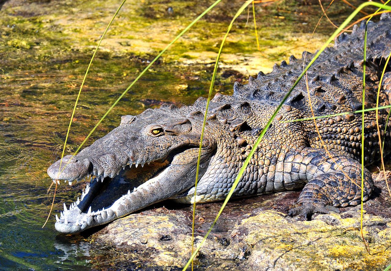 Large Croc Dog Bed