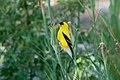 American Goldfinch (male) Eagle Rock Lake Red River Canyon NM 2019-07-09 08-56-48 (48248734052).jpg