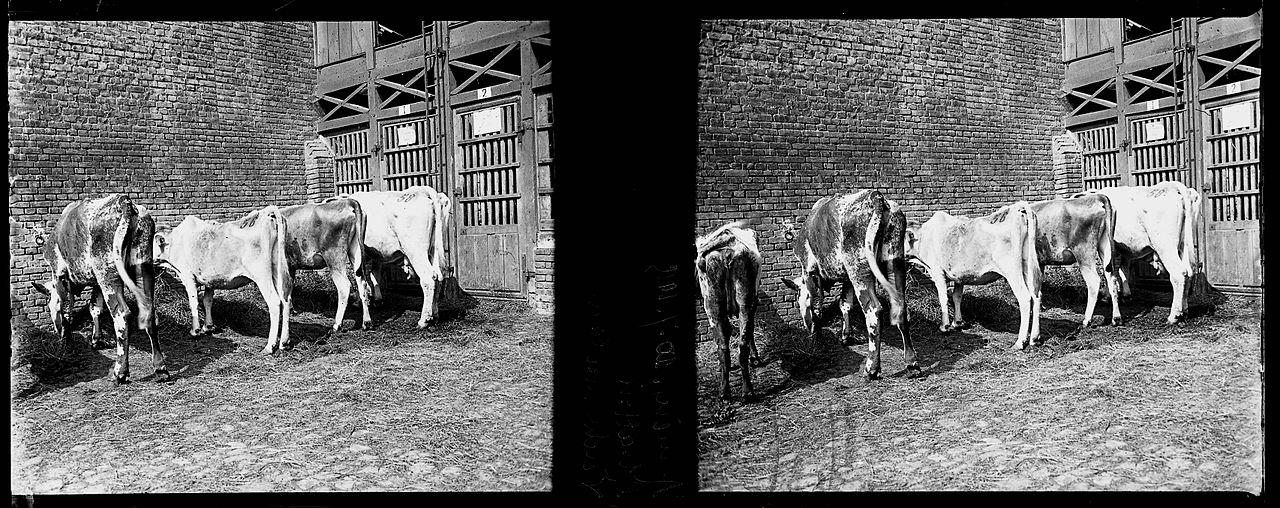 Amiens. 10-07-15. Abattoir. Vaches malades - Fonds Berthelé - 49Fi80.jpg