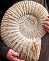 AmmoniteFossil.JPG
